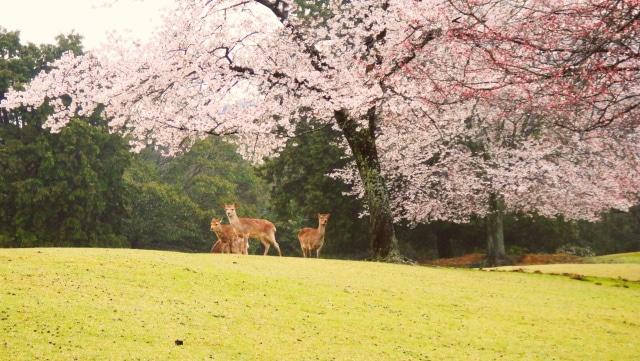 奈良県の桜がキレイな穴場お花見スポット10選《地図付き》